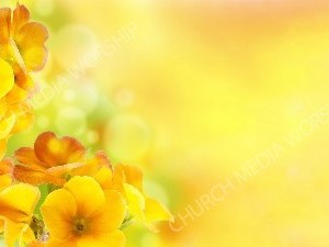 Yellow Iris with bokeh matte Christian Worship Background. High quality worship images for use to spread the Gospel and enhance the worship experience.