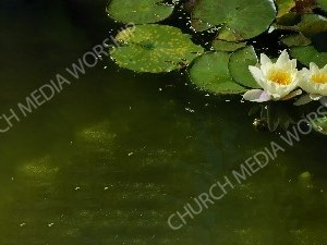 Lily pod in marsh Christian Worship Background. High quality worship images for use to spread the Gospel and enhance the worship experience.