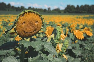 A sunflower with a smiley face in a sunflower field. Farm, agriculture, countryside