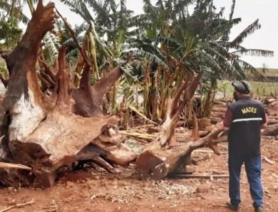 En la estancia Ganadera y Agricola Palmeira S.A se constató la tala de árboles nativos perteneciente al Bosque Atlántico