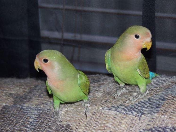 Pappagallini - Pappagalli - Caratteristiche dei pappagallini