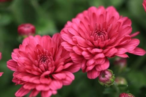 Krizantem Çiçeği Anlamı