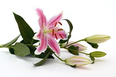 Lilyum Çiçeği Anlamı