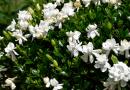 Gardenya Çiçeği Anlamı