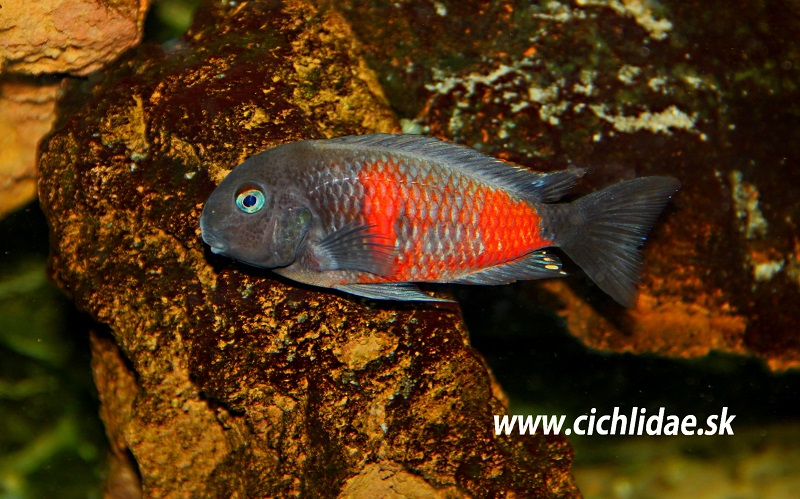 Kirschfleck Bulu Point Tropheus