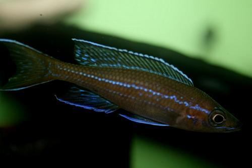 Paracyprichromis blue neon Tz south