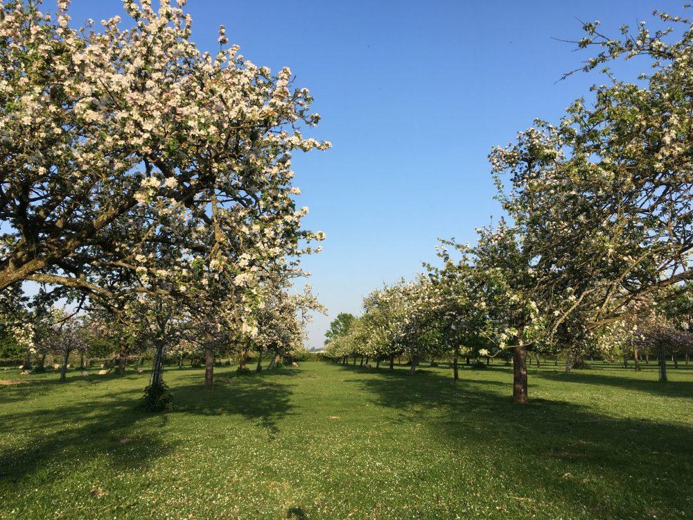 Æbleplantage i blomst
