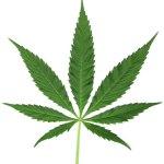 La Marihuana podría matar las células cancerígenas