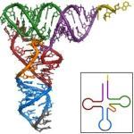 Una levadura logra desafiar el código genético