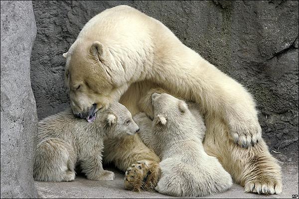 Ciencias naturales los mamiferos ciencias naturales online - Como se aparean los elefantes ...