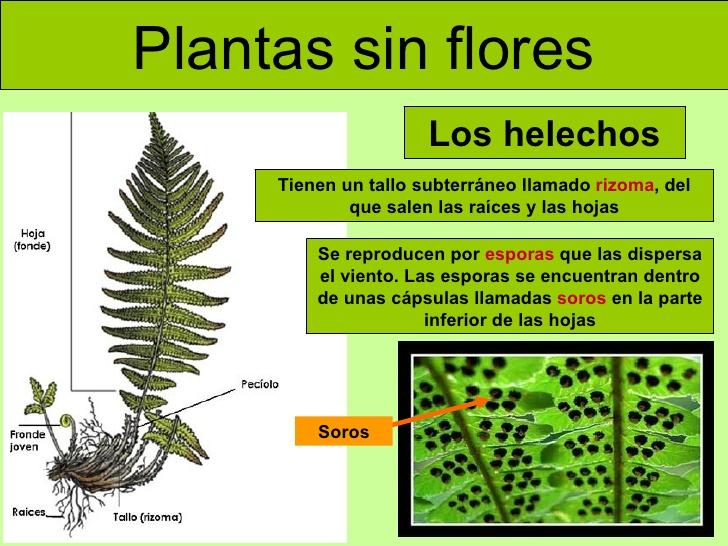 de la planta sin flor Archivos | Ciencias Naturales Online