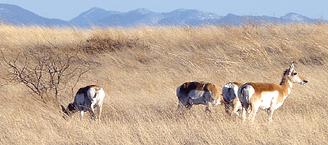 Pronghorn antelope in the Cienega Watershed.