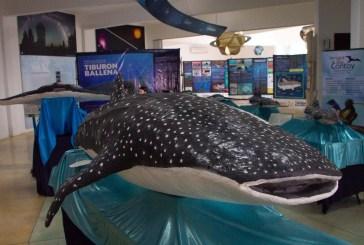 Advierten riesgos para la temporada de avistamiento del tiburón ballena en el Caribe Mexicano
