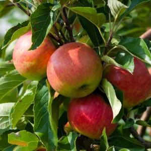dalında elma
