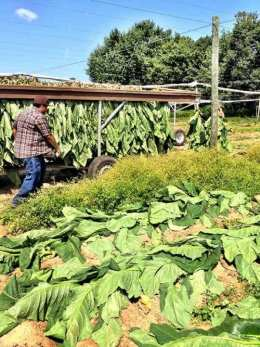 Broadleaf Tobacco Harvest in Connecticut