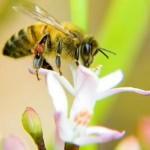Bee Loss Linked to Nicotine-Based Pesticide