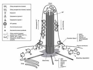 Structure and Function of Cilia