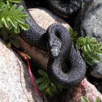 [Serpenti] Marasso, un incontro speciale..