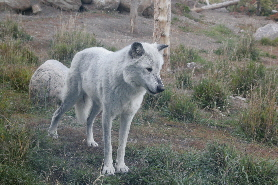 Yellowstone Wolf, USA