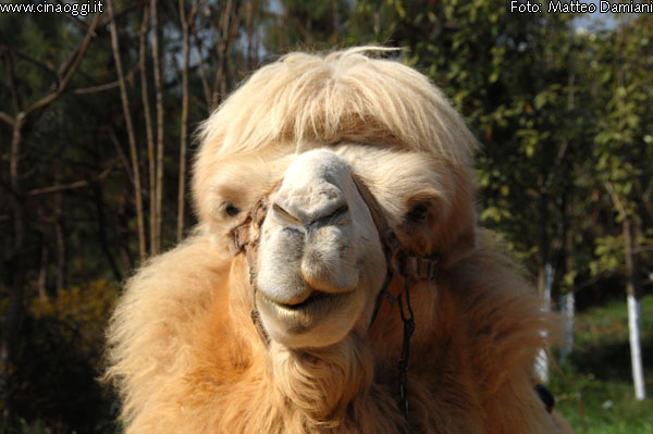 animals of China - bactrian camel images