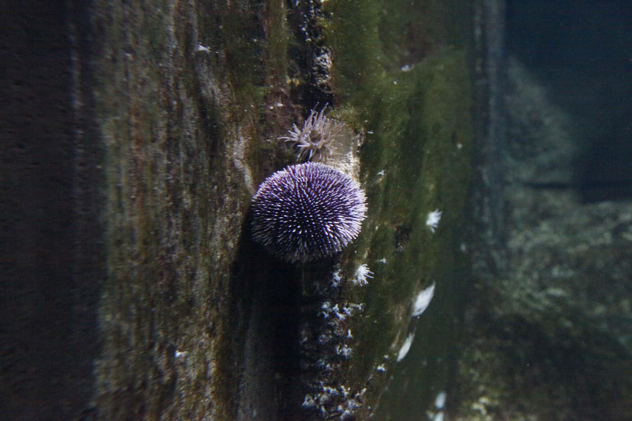 Oursin violet - Aquarium de Paris