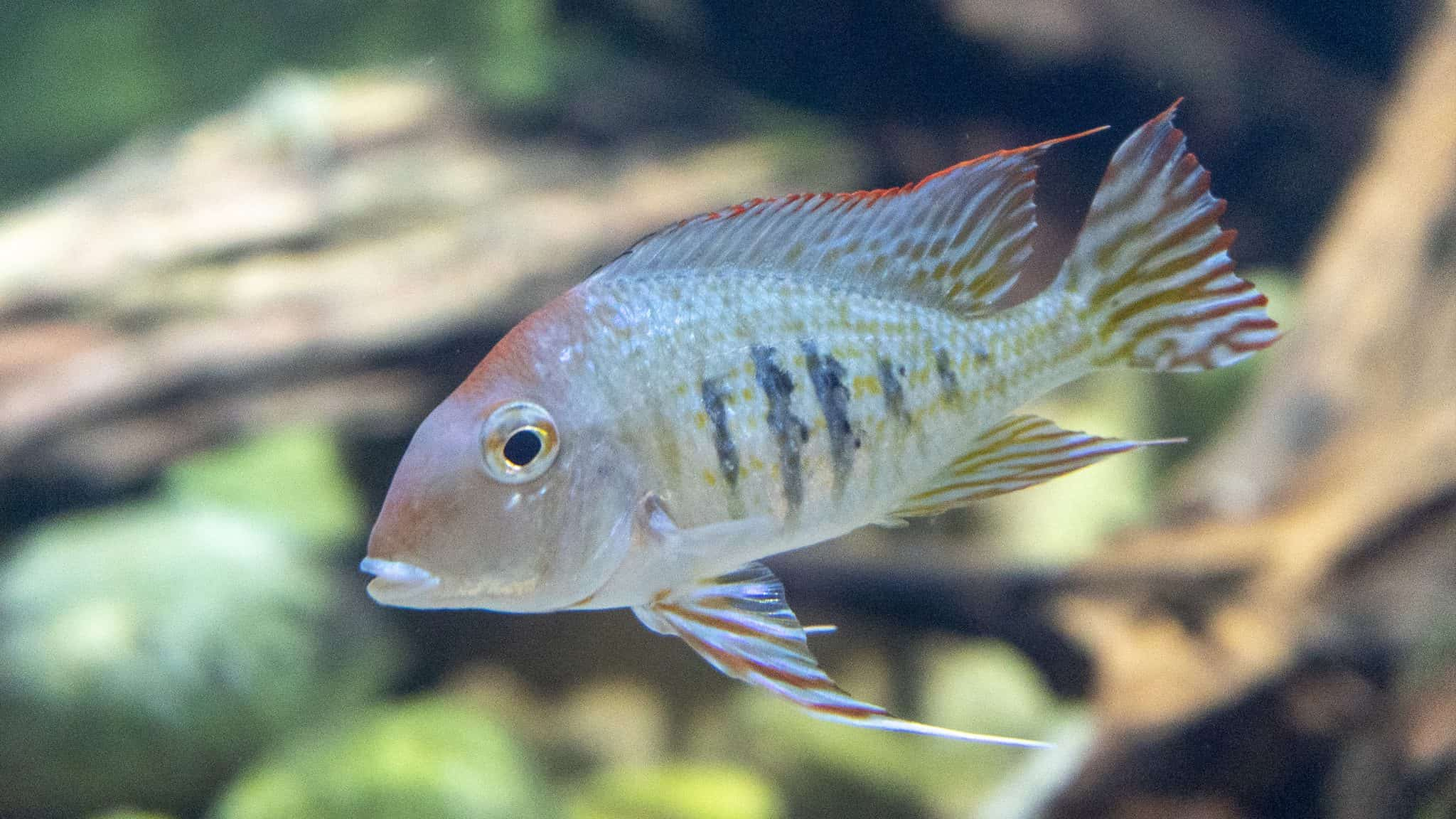 Poisson geophagus à tête rouge -Aquarium de Paris