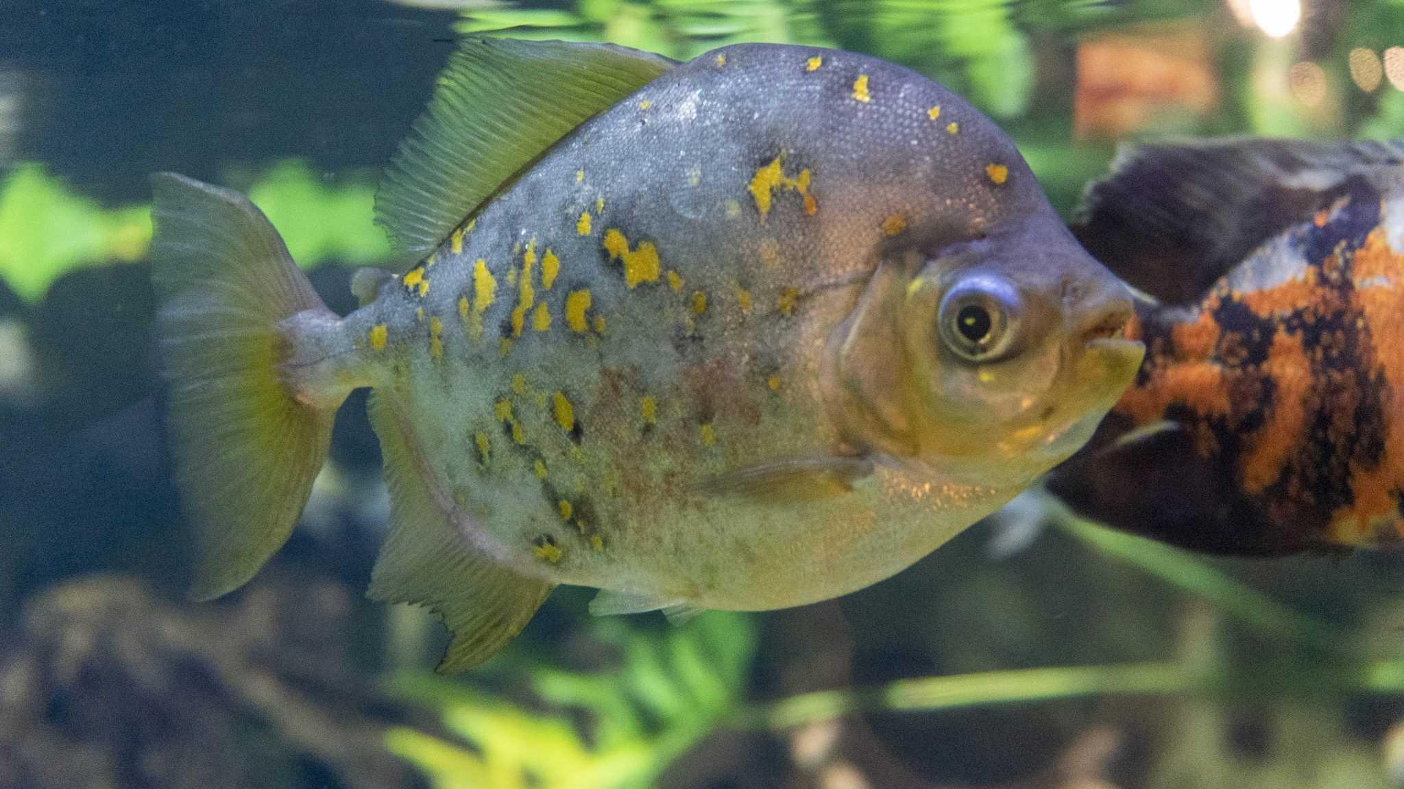 Poisson metynnis tachete - Aquarium de Paris