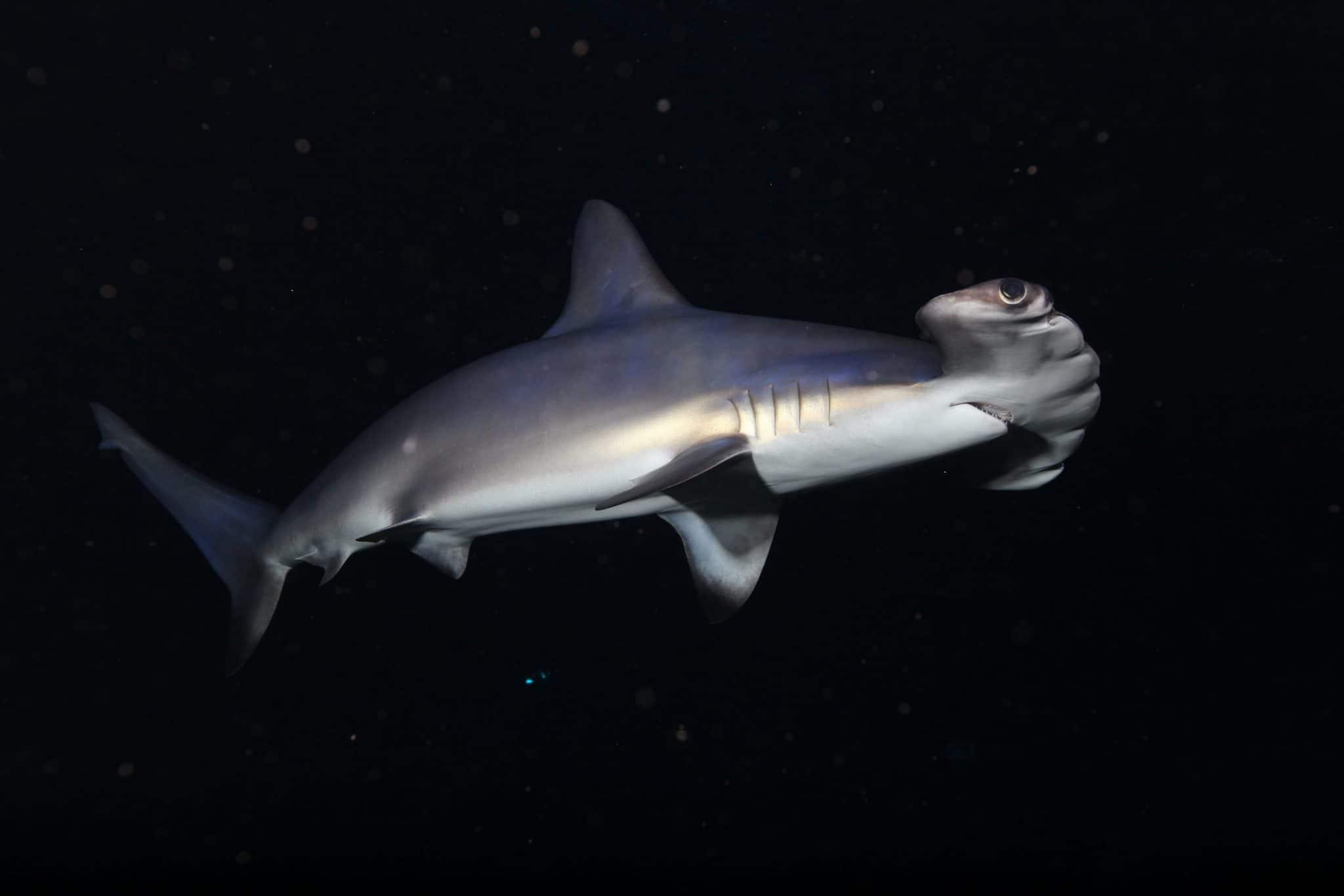 Requin marteau - Aquarium de Paris