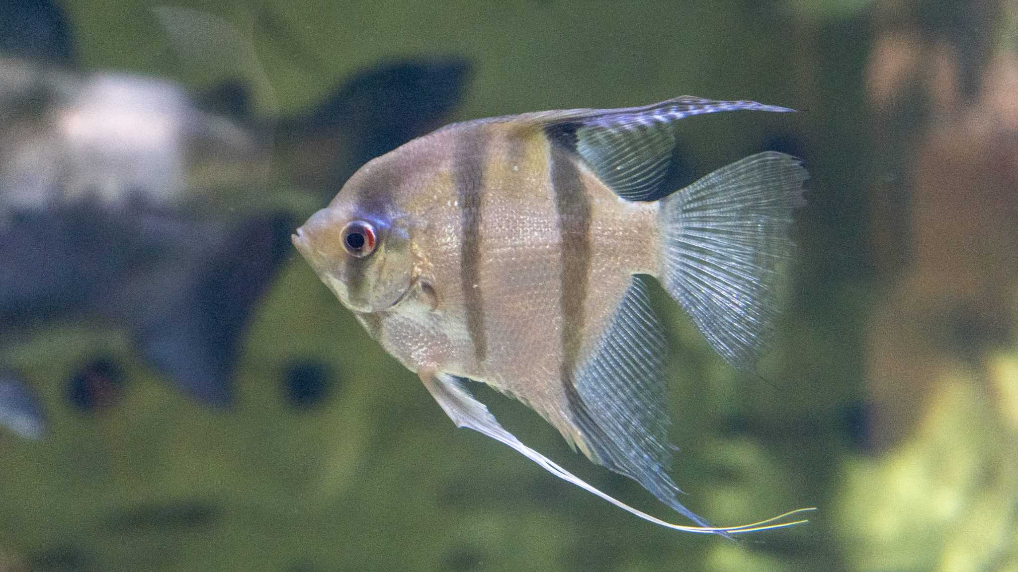 Poisson scalaire - Aquarium de Paris