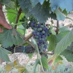 invaiatura Merlot 18.07.2011