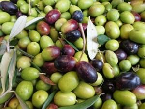 Olive 2012 #FattoriaDelColle