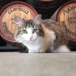 Winery cat