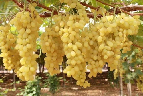 Mangiare uva fa bene alla salute