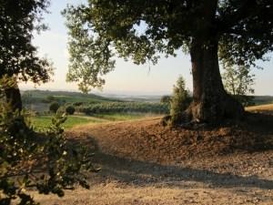 Alberi Monumentali Quercia Italia Fattoria del Colle Trequanda