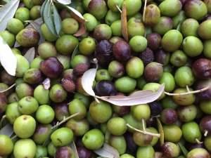 olive-Fattoria-del-Colle-Trequanda