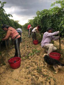 2018 harvest at Fattoria del Colle