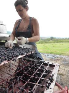 Grape Harvest 2016 - Montalcino -Sangiovese grape choice