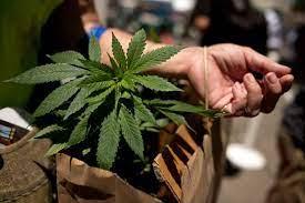cannabis-con-denominazione-in-California