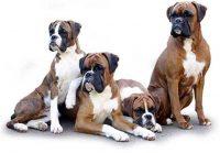 boxer-dogs-1.jpg