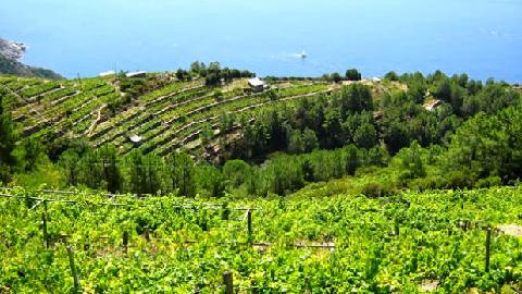 Vignoble des Cinque Terre