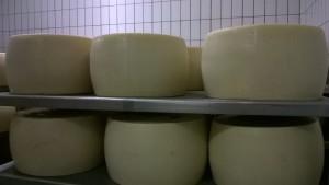 Produzione del Parmigiano Reggiano: forme pronte per la stagionatura