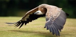 avvoltoio-volo