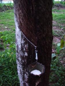 Raccolta del lattice dall'albero della gomma