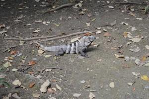 Messico, iguana