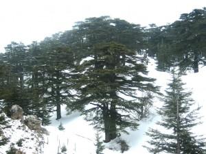 La foresta dei cedri di Dio, Libano