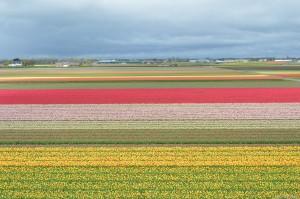 Olanda, distese di tulipani vicino a Lisse, Parco Keukenhof