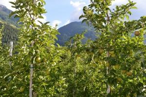 Val Venosta, coltivazione di mele