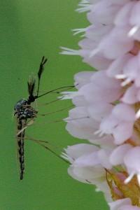 Alimentazione del maschio di zanzara