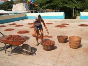 Fave di cacao essiccate al sole