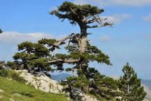 Parco nazionale del Pollino, pino loricato